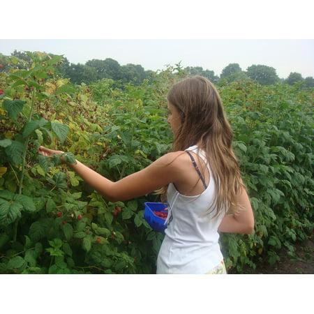 LAMINATED POSTER Hot Raspberries Shrubs Picking Mist Girl Summer Poster Print 24 x 36