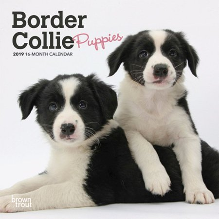2019 Border Collie Puppies Mini Wall Calendar, by BrownTrout