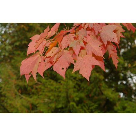 Framed Art for Your Wall Leaves Maple Red Fall Tree Leaf Park 10x13 Frame ()
