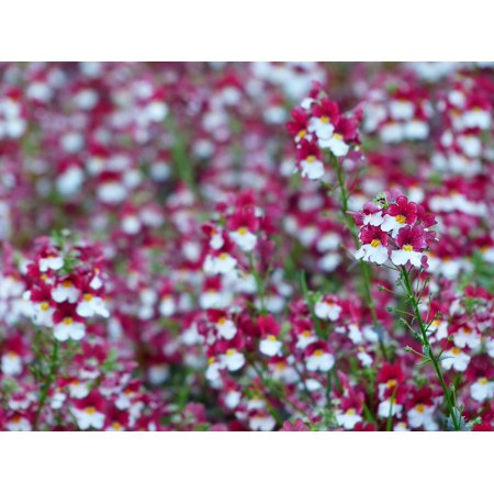 - LAMINATED POSTER White Blossom Bloom Flower Elf Mirror Red Poster Print 24 x 36