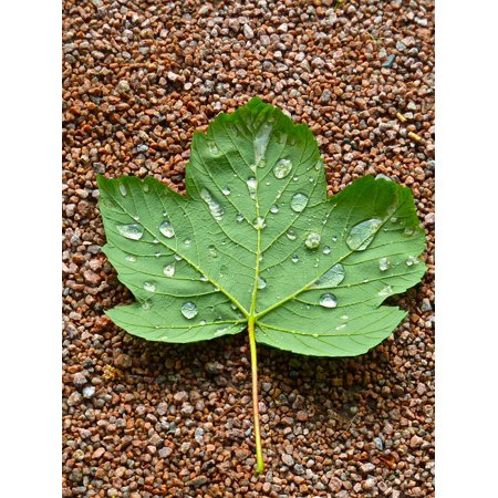 Laminated Poster Natural Detail Maple Droplets Leaf Closeup Green Poster Print 11 x -