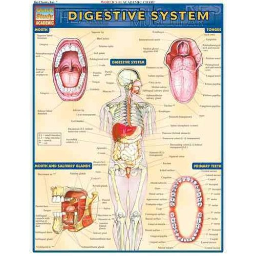 Digestive System Reference Guide