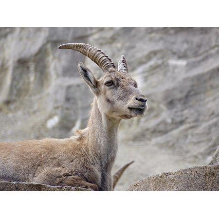 Canvas Print Ibex Ungulate Alpine Capricorn Horns Alpine Ibex Stretched Canvas 10 x 14
