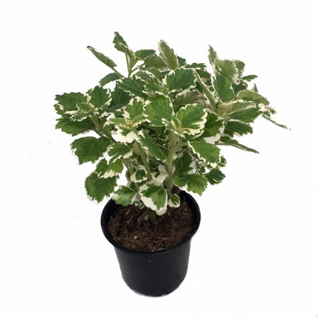 Variegated Plectranthus House Plant on swedish ivy plant, plectranthus nico plant, variegated agave plants, variegated jasmine ground cover, plectranthus vicks plant, koorka plant, purple plectranthus plant, variegated plectranthus amboinicus,