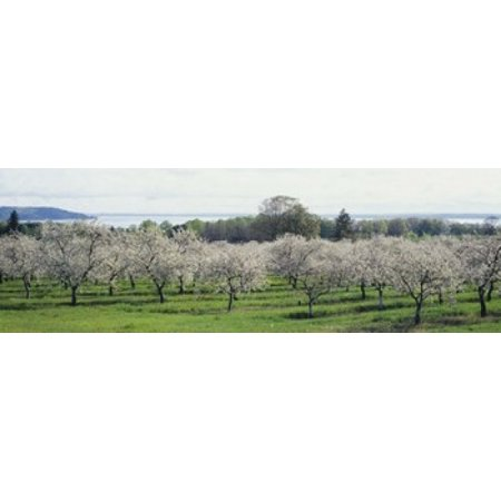 Cherry trees in an orchard Mission Peninsula Traverse City Michigan USA Poster Print - Halloween City In Michigan