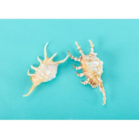 Large Sea Shells, Spider Conch Shell, Large Shells, Specimen Seashells, Beach Decor, Nautical Decor, Coastal Décor (Large Concho)