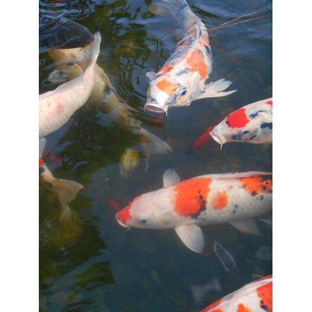 LAMINATED POSTER Colored Carp Aquarium Fish Red And White Poster 24x16 Adhesive Decal