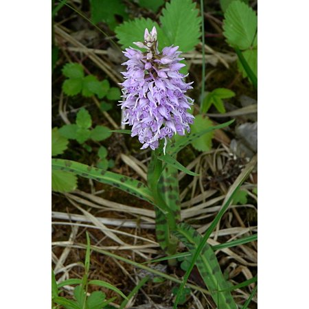 LAMINATED POSTER Heath Spotted Orchid Orchid Protected Plant Poster Print 24 x 36 Common Spotted Orchid