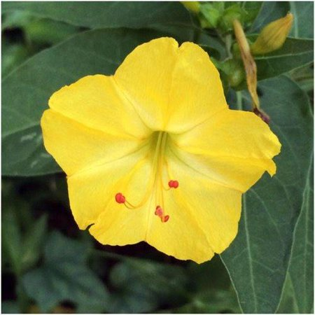 Package Of 60 Seeds  Yellow Four O Clock  Mirabilis Jalapa  Open Pollinated Seeds By Seed Needs
