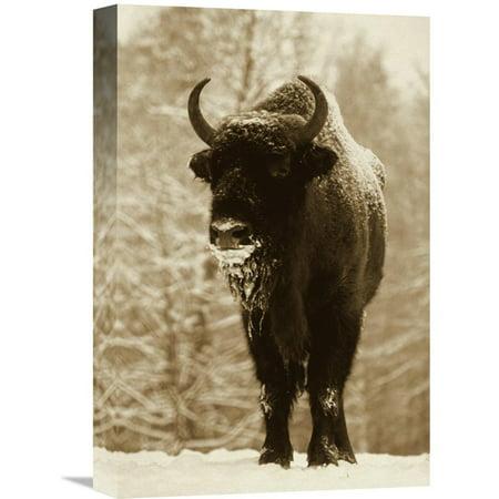 Global Gallery European Bison Or Wisent in Snow Europe Wall (Best Art Galleries In Europe)