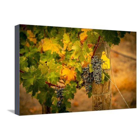 Washington State, Red Mountain. Cabernet Sauvignon Grapes at Hightower Cellars Stretched Canvas Print Wall Art By Richard Duval