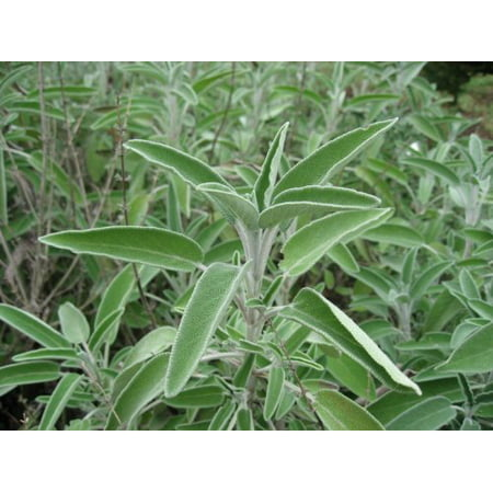Sage (Salvia Officinalis) Great Garden Heirloom Herb 100 Seeds