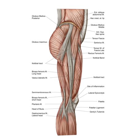 Anatomy Of Human Thigh Muscles Anterior View Canvas Art Stocktrek