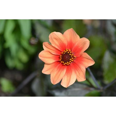 LAMINATED POSTER Botany Petals Garden Flower Summer Flowers Nature Poster Print 24 x 36