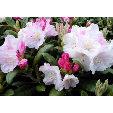 - Yaku Princess Rhododendron - Very Hardy - Spectacular - 4