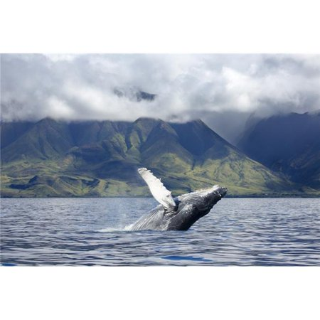 A Humpback Whale Breaches Off The Coast of West Maui - Maui Hawaii United States of America Poster Print - 38 x 24 in. - Large - image 1 de 1