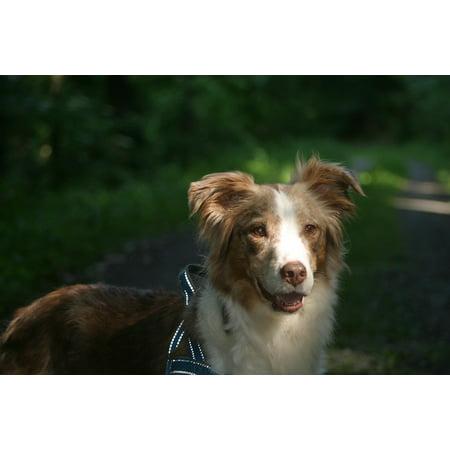 Australian Shepherd Portrait (Framed Art for Your Wall Australian Shepherd Pet Dog Head Portrait Lighting 10x13)