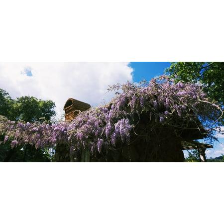 Lilacs flowers at Kuleto Estates Winery St Helena Napa County California USA Canvas Art - Panoramic Images (16 x 36)