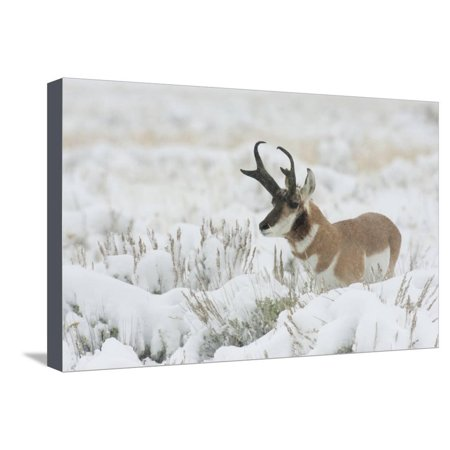 Antelope Wall (Pronghorn Antelope buck Stretched Canvas Print Wall Art By Ken Archer )