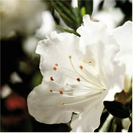 - Encore Azalea Autumn Angel | White Blooms - Live Evergreen Shrub