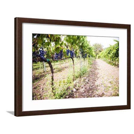 Red Grapes at a Vineyard on Mount Etna Volcano, UNESCO World Heritage Site, Sicily, Italy, Europe Framed Print Wall Art By Matthew Williams-Ellis