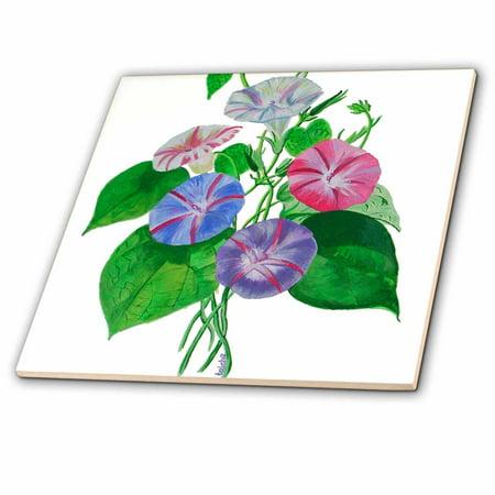 3dRose Flowers Morning Glory - Ceramic Tile, (Growing Morning Glory Flowers)