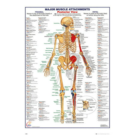Human Body Major Muscle Attachments Posterior Reference Chart Poster 24x36 inch