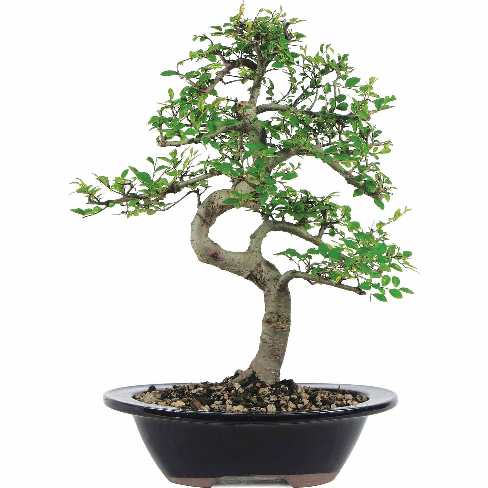 Brussel's Chinese Elm Bonsai Medium (Outdoor) by Brussel's Bonsai