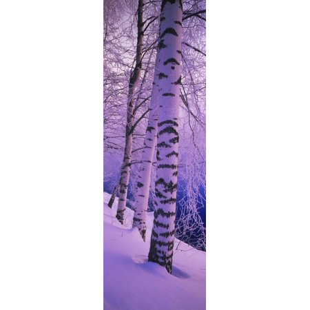 - Birch Trees at the Frozen Riverside, Vuoksi River, Imatra, Finland Print Wall Art By Panoramic Images