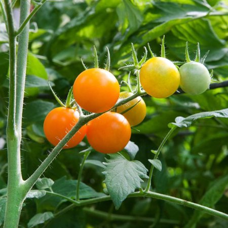 Super Sweet Sun Sugar Tomato 4 Live Plants - One of the Sweetest in the World!