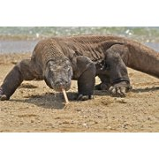 Laminated Poster Komodo Dragon Monitor Lizard Large Scary Cool Poster Print 24 x 36