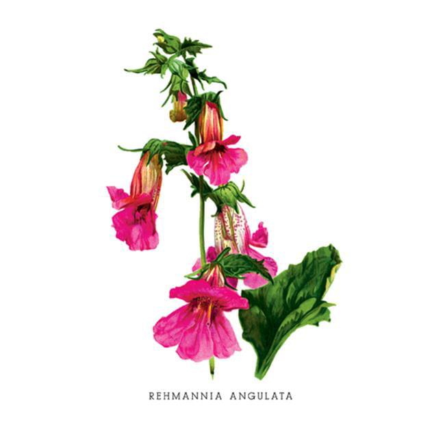 Buy Enlarge 0-587-03690-7P20x30 Rehmannia Angulata- Paper Size P20x30