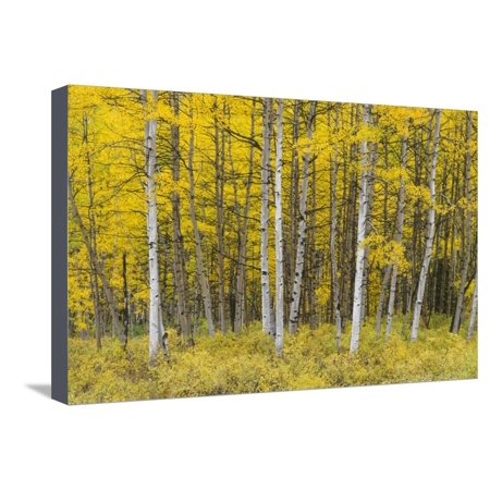 USA, Colorado, Gunnison National Forest, Fall Colored Aspen Grove in the West Elk Mountains Stretched Canvas Print Wall Art By John Barger - Party City Elk Grove