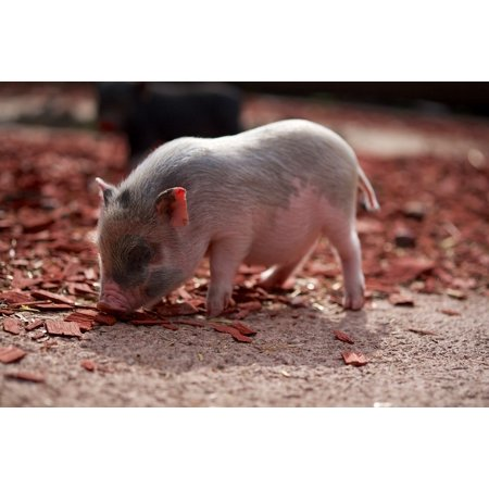 LAMINATED POSTER Animals Curly Tail Piglet Farm Pig Pet Pink Poster Print 24 x 36