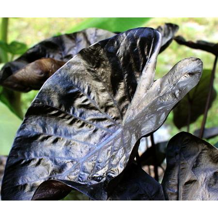 Maroon Port (Black Ripple Elephant Ear Plant - Colocasia - Dark Maroon Foliage - 4