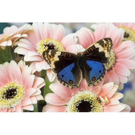 The blue pansy butterfly, Junonia orithya on Pink Gerber Daisy Print Wall Art By Darrell Gulin