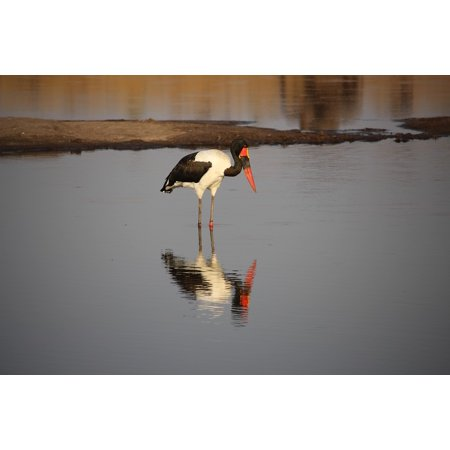 - Framed Art For Your Wall Africa Saddle Billed Stork Wildlife Bird Zimbabwe 10x13 Frame