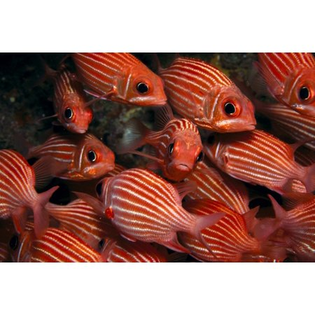 School Hawaiian Squirrelfish  Sargocentron Xantherythrum  Endemic Many Close Up A84c Canvas Art   Ed Robinson  Design Pics  19 X 12
