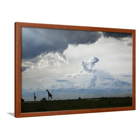 Giraffe and Storm Clouds, Botswana Framed Print Wall Art By Richard Du Toit
