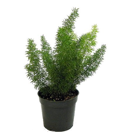 "Foxtail Fern - Asparagus meyerii - 4"" Pot - Easy to Grow Houseplant - Live Plant"