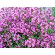Plants flowers pink chintz thyme pretty pink flowers hardy live plant gallon pot mightylinksfo