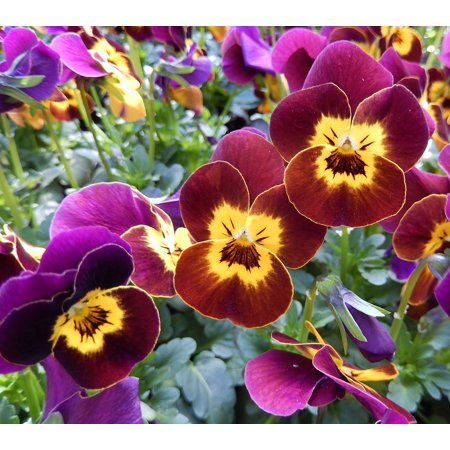 LAMINATED POSTER Spring Flowers Nursery Pansy Red Balcony Poster Print 24 x