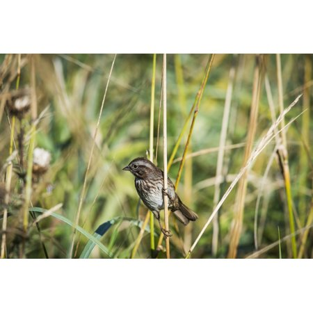 Song Sparrow (Melospiza melodia) perches on a plant Hoquiam Washington United States of America Canvas Art - Robert L Potts Design Pics (38 x 24)