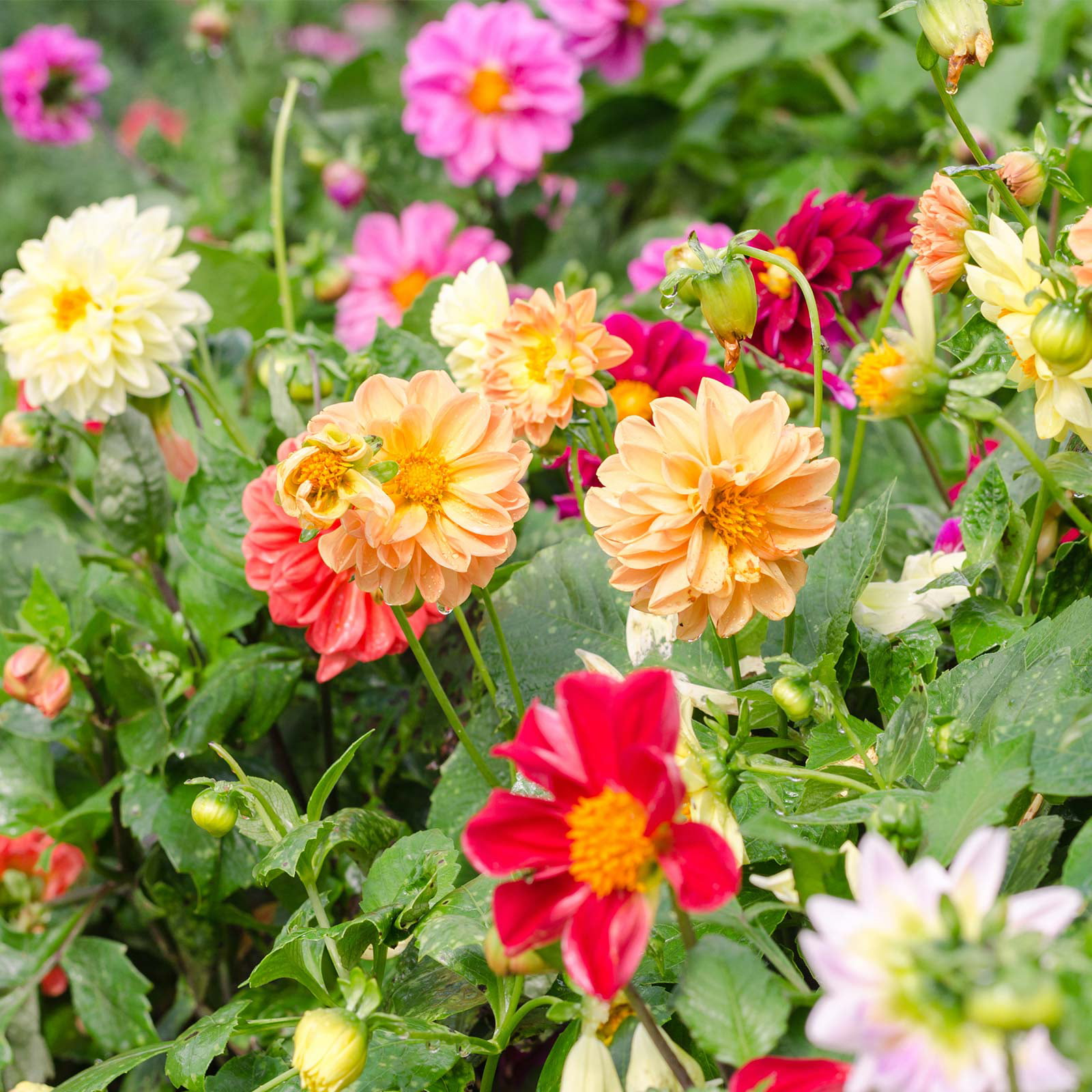 Figaro Series Dahlia Flower Seed Mix 500 Seeds Annual Flower