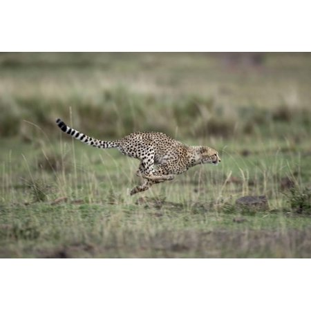 Adolescent Art (Adolescent Cheetah Cub Running in Masai Mara National Reserve Print Wall Art By Paul)