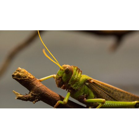 canvas print wood grasshopper antennae giant nature insect stretched canvas 10 x 14 (Giant Grasshopper)