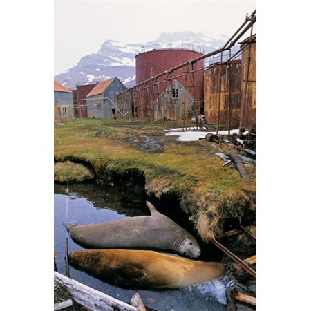 Southern Elephant Seal in ruins of old whaling station Island of South Georgia Stretched Canvas - Martin Zwick  DanitaDelimont (12 x 18)