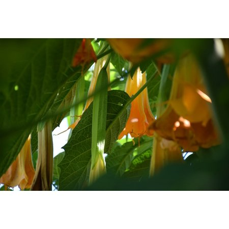 Light And Shadow Bloom Datura Blossom Angel Trumpet Poster Print 24 x 36