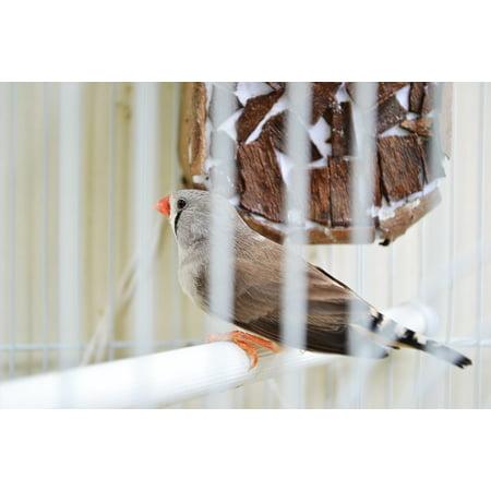 Canvas Print Evolution Cage Pet Birds Finches Birds Pet Cote Stretched Canvas 10 x 14