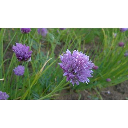 Framed Art for Your Wall Garden Spring Wild Garlic Flowers Purple Flower 10x13 Frame - Walmart.com